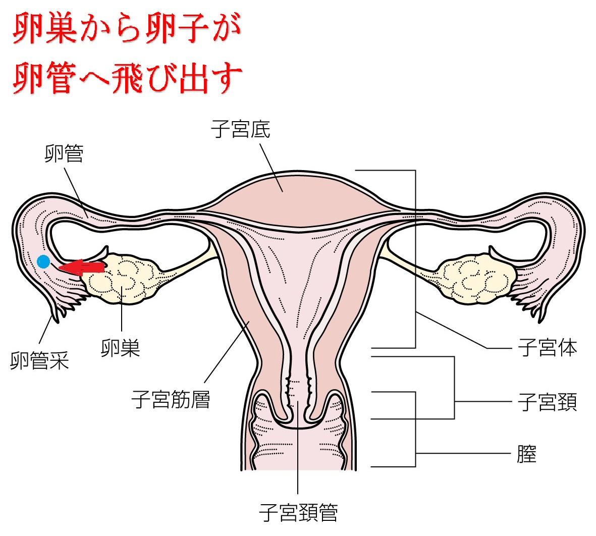 激痛 排卵 痛